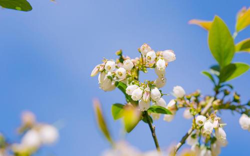 为什么养了两年的盆栽蓝莓不开花呢?
